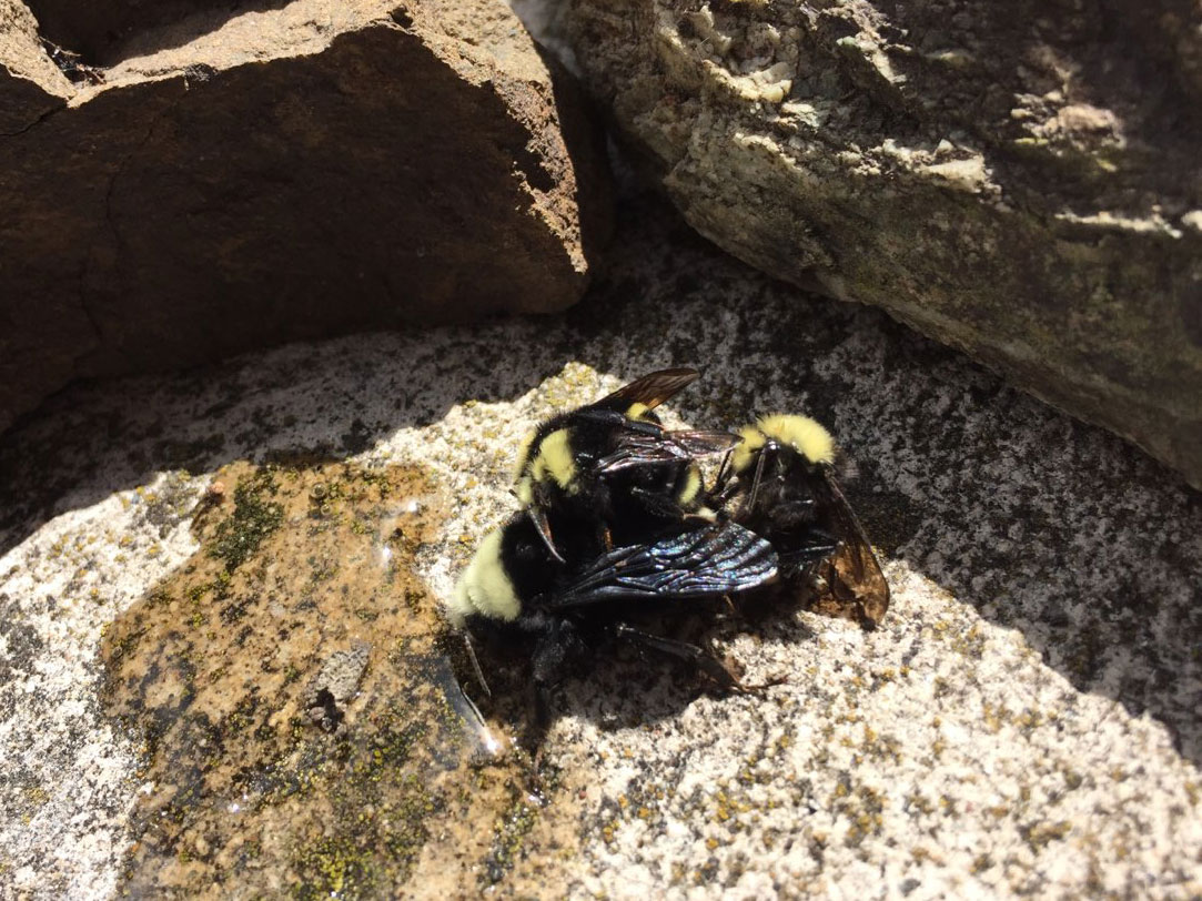 Yellow-faced bumble bee family